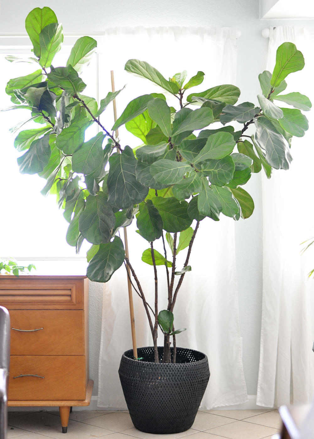 Houseplant Week Fiddle Leaf Fig Real Life On Purpose
